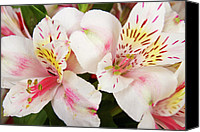 Fine Arts Photography Canvas Prints - Peruvian Lilies  Flowers White and Pink Color Print Canvas Print by James Bo Insogna