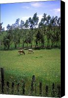 Horses Framed Prints Canvas Prints - Petaluma Pasture Canvas Print by Kathy Yates