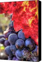 Blue Grapes Canvas Prints - Petite Syrah 22 Canvas Print by Mars Lasar