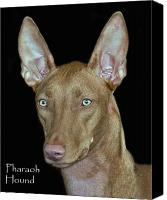 Hound Canvas Prints - Pharaoh Hound Canvas Print by Larry Linton