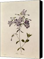 Floral Drawings Canvas Prints - Phlox reptans Canvas Print by Pierre Joseph Redoute