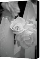 White Rose Canvas Prints - Picket Rose Canvas Print by Peter Tellone