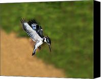 Kingfisher Canvas Prints - Pied Kingfisher Canvas Print by Tony Beck