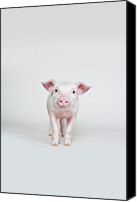 Pig Photo Canvas Prints - Piglet, Studio Shot Canvas Print by Paul Hudson