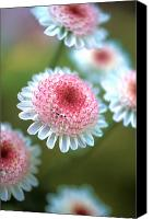 Flower Photos Canvas Prints - Pincushion Flowers Canvas Print by Kathy Yates