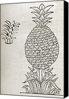 Valdes Canvas Prints - Pineapple, 16th Century Artwork Canvas Print by Middle Temple Library