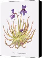 Custom Framed Art Canvas Prints - Pinguicula gypsicola Canvas Print by Scott Bennett
