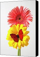 Chrysanthemums  Canvas Prints - Pink and yellow mums Canvas Print by Garry Gay