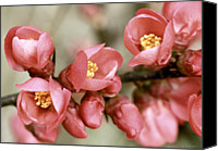 Pink Flower Branch Canvas Prints - Pink Blossom Canvas Print by Y. Deshayes - Photography