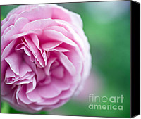 Rose Flower Canvas Prints - Pink Bourbon Rose LOUISE ODIER Canvas Print by Frank Tschakert