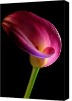 Calla Lily Canvas Prints - Pink Calla Lily Canvas Print by Dung Ma