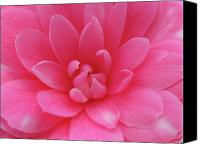Camellia Canvas Prints - Pink Camellia Canvas Print by Juergen Roth