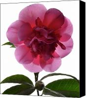 Camellia Canvas Prints - Pink Camellia Canvas Print by Terence Davis