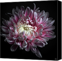 Pink Flower Canvas Prints - Pink Dhalia Canvas Print by Flower photography by Viorica Maghetiu