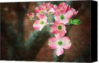 Closeup Mixed Media Canvas Prints - Pink Dogwood Cascade Canvas Print by Andee Photography