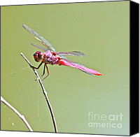 Insects Pyrography Canvas Prints - Pink Dragonfly Canvas Print by David Cutts