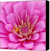 Zinna Canvas Prints - Pink Flower Center Canvas Print by Patty Vicknair