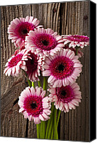 Blossoming Canvas Prints - Pink Gerbera daisies Canvas Print by Garry Gay