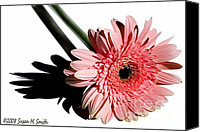 Susan M. Smith Canvas Prints - Pink Gerbera Canvas Print by Susan Smith