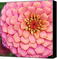 Zinna Canvas Prints - Pink Happening Canvas Print by Bruce Bley
