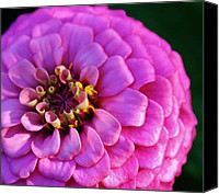 Zinna Canvas Prints - Pink Infusion Canvas Print by Bruce Bley