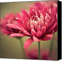 Wayne Canvas Prints - Pink Mum Flowers Canvas Print by Jody Trappe Photography