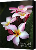 Florida Flowers Canvas Prints - Pink Plumeria Flowers Canvas Print by Sabrina L Ryan