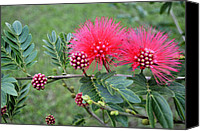 Mimosa Tree Leaf Canvas Prints - Pink Powder Puff Plant II Calliandra haematocephala Canvas Print by Sally Rockefeller