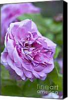 Purples Canvas Prints - Pink Rose Flower Canvas Print by Frank Tschakert