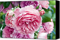 Flower Photos Canvas Prints - Pink Roses Canvas Print by Frank Tschakert