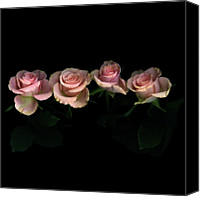 Rose Photography Canvas Prints - Pink Roses On Black Background Canvas Print by Photograph by Magda Indigo