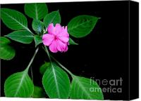 Vinca Flowers Canvas Prints - Pink Vinca - 1 Canvas Print by Mary Deal