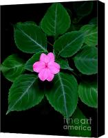 Vinca Flowers Canvas Prints - Pink Vinca - 2 Canvas Print by Mary Deal
