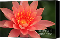 Lotus Art Canvas Prints - Pink Water Lily Canvas Print by Cheryl Young