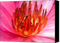Water Lily Canvas Prints - Pink water lily Canvas Print by Sumit Mehndiratta