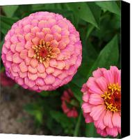 Zinna Canvas Prints - Pinks the Color Canvas Print by Bruce Bley