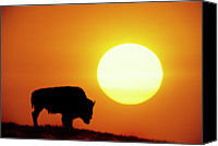 Animal Photo Canvas Prints - Plains Bison (bison Bison), Digital Composite Canvas Print by Altrendo Nature
