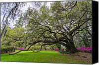 Low Country Canvas Prints - Plantation Oak  Canvas Print by Drew Castelhano