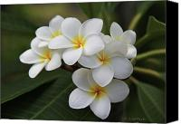 White Flowers Canvas Prints - Plumeria - Golden Hearts Canvas Print by Kerri Ligatich