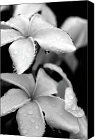 Plumeria Canvas Prints - Plumeria Drip Canvas Print by Peter Tellone