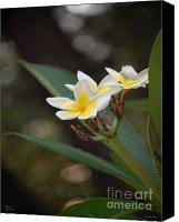 Plumeria Canvas Prints - Plumeria II Canvas Print by Robert Meanor
