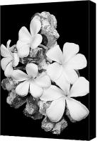 All Canvas Prints - Plumeria on Coral  Canvas Print by Elizabeth  Doran