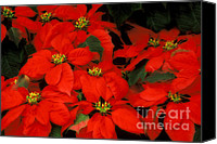 Renata Ratajczyk Canvas Prints - Poinsetias flowers - 36-4-S Canvas Print by Renata Ratajczyk