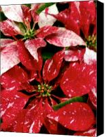 Lovely Looking Flower Canvas Prints - Poinsettia Red White Canvas Print by Debra     Vatalaro