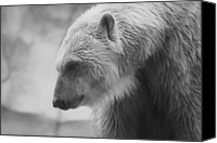 Hovind Canvas Prints - Polar Bear 7 Canvas Print by Scott Hovind