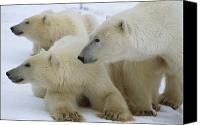 Setting Canvas Prints - Polar Bear And Two Large Cubs Sniffing Canvas Print by Norbert Rosing