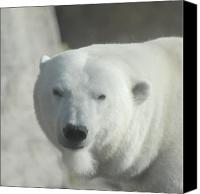 Animal Glass Art Canvas Prints - Polar Bear Canvas Print by Curtis Gibson