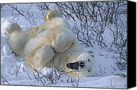 Color Stretching Canvas Prints - Polar Bear Male Stretching And Yawning Canvas Print by Suzi Eszterhas