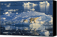 Fn Canvas Prints - Polar Bear Ursus Maritimus Adult Canvas Print by Rinie Van Meurs