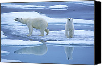 Animal Behaviour Canvas Prints - Polar Bear Ursus Maritimus Pair On Ice Canvas Print by Rinie Van Meurs